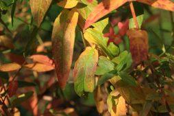 Blutweiderich in Herbstfarben_5
