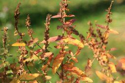 Blutweiderich in Herbstfarben_6