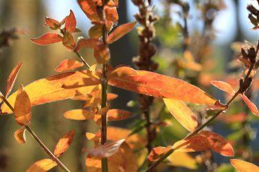 Blutweiderich in Herbstfarben_7