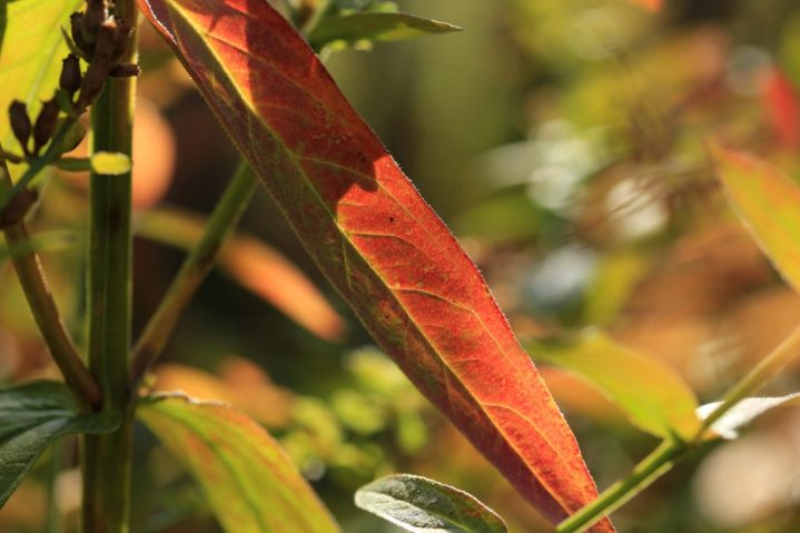 Blutweiderich in Herbstfarben_8