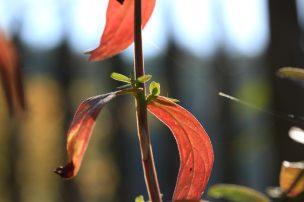 Blutweiderich in Herbstfarben_9