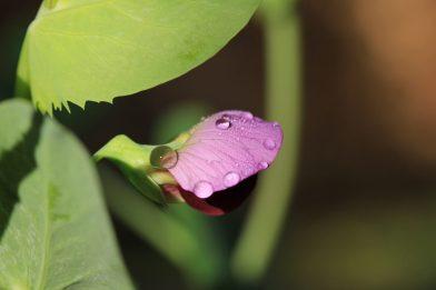 Erbse, Pisum sativa, aus einer Gründüngeransaatmischung.