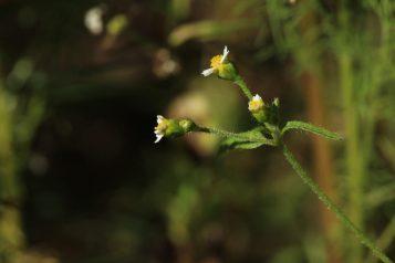 Galinsoga parviflora