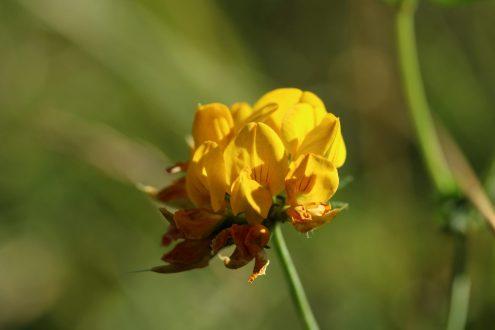 Hornkleeblüte