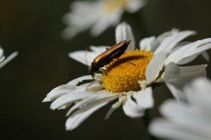 Weichkäfer auf Blüte des Margaritenbuschs.