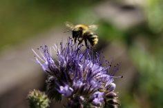 Phacelia mit Honigbiene