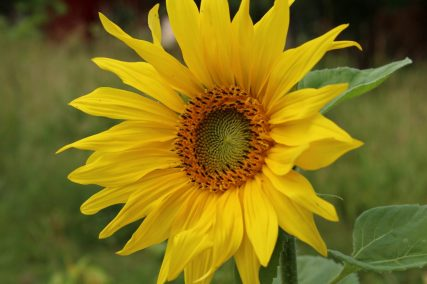 Sonnenblume, ausgesät vom Vogelfutter.