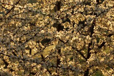 Letztes Frühjahr war der Duft dieser Blüten so stark, dass man fast schon Kopfschmerzen bekam, wenn man zu lange davor stand und eingeatmet hat. Wahrlich betörend! Ich kann gut nachvollziehen, dass man da als Hummel oder Biene gar nicht anders kann, als sich in diese Blütenpracht zu stürzen...