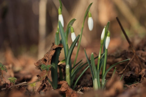 Schneeglöckchen, Galanthus nivalis, die einzige Art, die in Mitteleuropa heimisch ist. Plötzlich geht es dann immer schnell! Am Vortag war noch nichts vom Weiß zu sehen, und einen Tag nach dieser Aufnahme werden sie ihre Blüten öffnen.