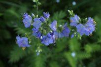 Die Himmelsleiter ist eine ausdauernde Pflanze. Einmal gepflanzt, bleibt sie, wenn es ihr gefällt. Sie wird bis zu 70 cm hoch, jedes Jahr ein bisschen buschiger und bekommt jedes Jahr mehr Blüten. Eigentlich sollte sie bei uns eine häufige Pflanze sein, denn sie ist in relativ vielen Biotoptypen zu Hause: in Wäldern, Auen, Ufergebüschen, in feuchten Wiesen und in bergigen Regionen. In der Natur hab ich sie jedoch noch nie gesehen.
