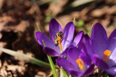 Honigbiene beim Pollensammeln auf einer Krokusblüte. Ein Foto von Ende März 2018.