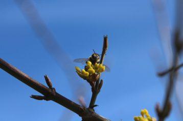 Wildbienenbesuch.