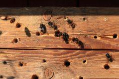 Hier bringen nicht nur solitär lebende Wildbienen ihre Nachkommen unter, auch der ein oder andere Wollschweber könnte hier aufwachsen...