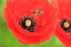 Honigbiene_Mohnblüte