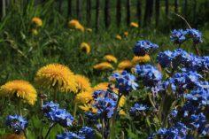 Gelb und blau - wild und gepflanzt ergänzt sich optisch doch perfekt!