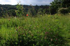 Kunterbunt für kein Geld, einfach, weil man´s stehen lässt: Rotklee, Margerite, Mohn und keine Ahnung wie viele Grasarten.