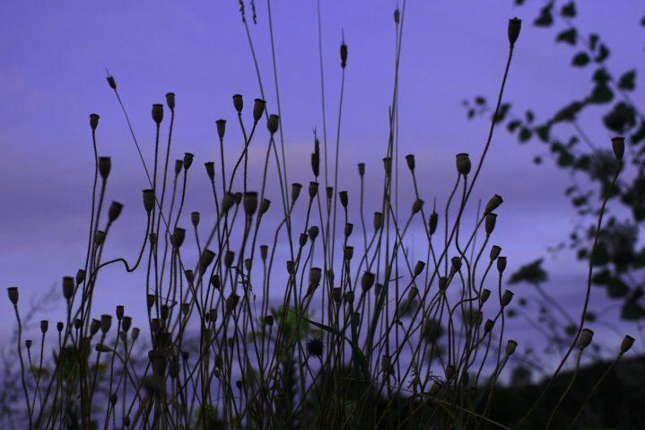 Über Wochen haben sich Schwebfliegen, Hummeln und Bienen an den knallroten Blüten gedrängelt. Jetzt herrscht hier Ruhe - der Nachwuchs reift für´s nächste Jahr: Mohnkapseln.