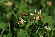 Ins Bild geflogen! Kleeblüten sind wichtige Nahrungslieferanten für Insekten. Nicht nur die Honigbienen der Nachbarin sammeln dort fleissig.