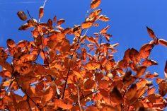 Felsenbirne_Herbstlaub