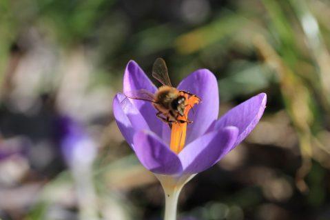 Honigbienen_Frühjahrsblüher - 11