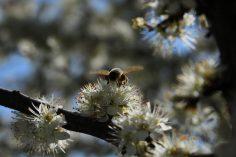 Bunte_Hecke-Honigbiene