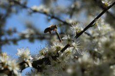 Bunte_Hecke-Honigbiene-Weißdorn1