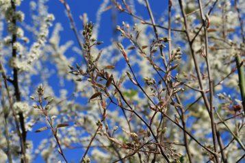 Bunte_Hecke-Felsenbirne-Blütenknospen