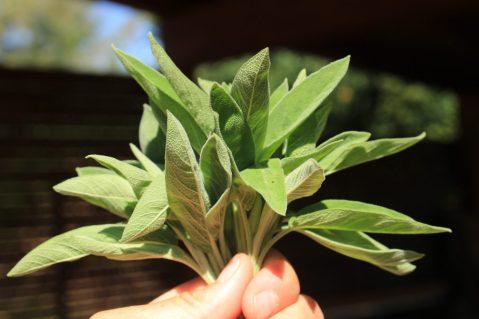 Ein gutes Büschel Salbeiblätter. Mehr geben meiner drei Salbeibüsche momentan nicht her. Von der Blüte sind sie noch arg mitgenommen.