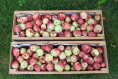 Mehr als 50 kg Äpfel von nur einem einzigen Baum... und wir hätten noch mehr von ihm abernten können!