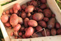 Kartoffelernte-1_2020 - 2