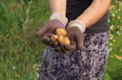Kartoffelernte-1_2020 - 5