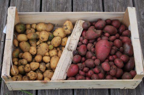 Kartoffelernte-1_2020 - 7