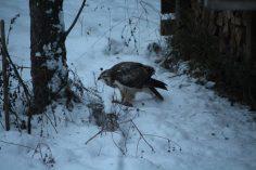 Mäusebussard_Rattenfänger im Garten_Jan2021_1