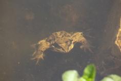 Frosch im Teich - 3kl